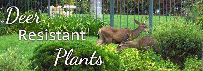 Deer Resistant Plants Mcpheeters Turf Inc Mcpheeters